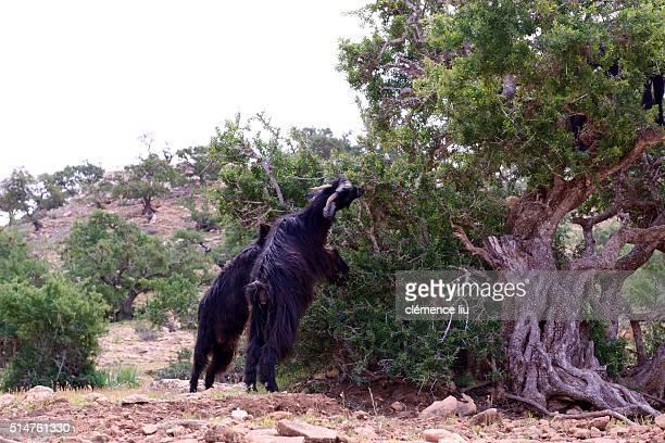 Goats climbing an Argan tree, Morocco