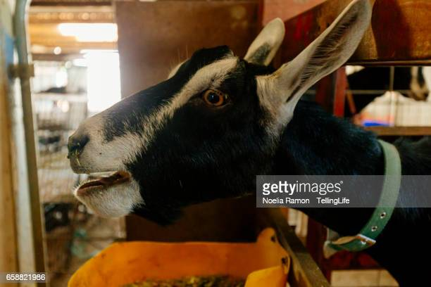 Goats eating and looking to the camera
