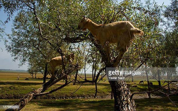 Goats graze on top of trees planted in Wular lake on October 04 2011 in Wular 75 km north of Srinagar the summer capital of Indian administered...