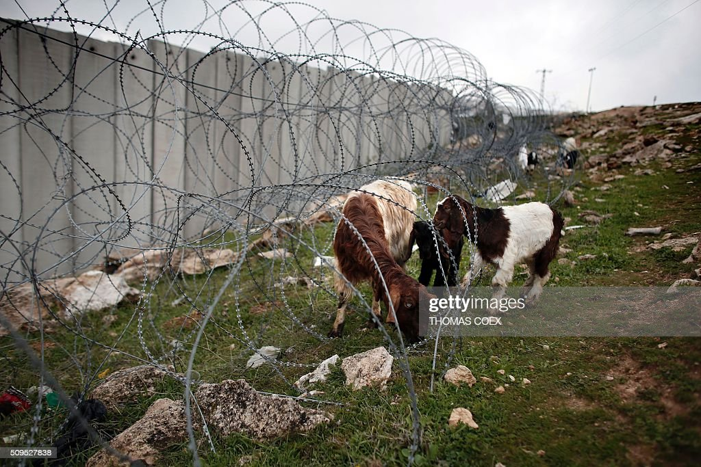 Goats graze under a barbed wire fence near Israel's controversial separation barrier dividing the Palestinian neighbourhood of Al-Tur in the Israeli annexed East Jerusalem with the West Bank, on February 11, 2016. / AFP / THOMAS COEX