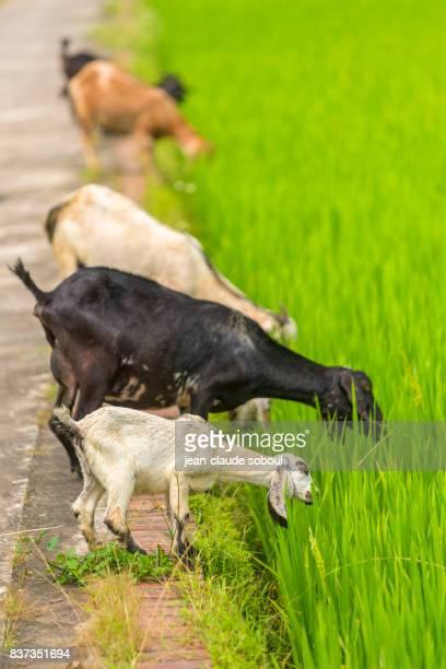 5 goats grazing in a rice field, in Ninh Binh province (Vietnam)