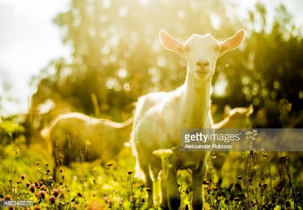 Goats grazing in rural field