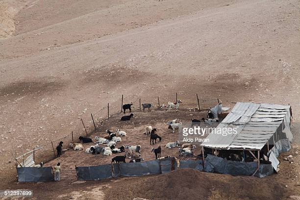 Goats in an enclosure, Bedouin camp
