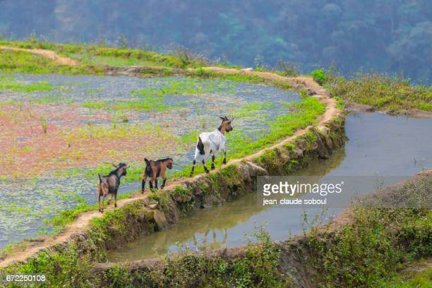 3 goats in the rice fields of Sapa, in Lao Cai province (vietnam)