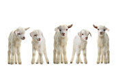 goats kid isolated on white
