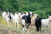 A herd of goats on a summer pasture