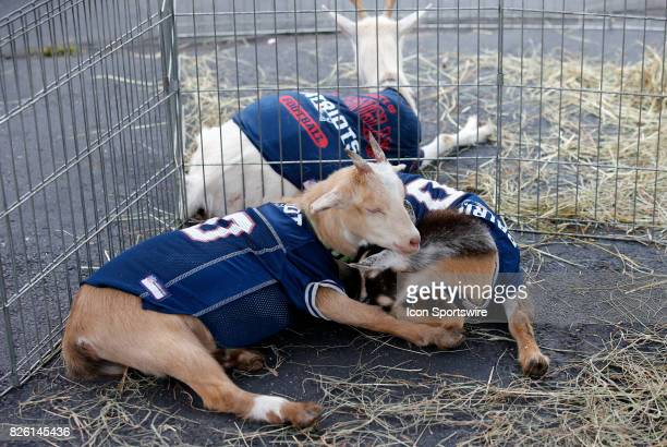 Goats on hand for the birthday of New England Patriots quarterback Tom Brady during Patriots training camp on August 3 at Gillette Stadium in...