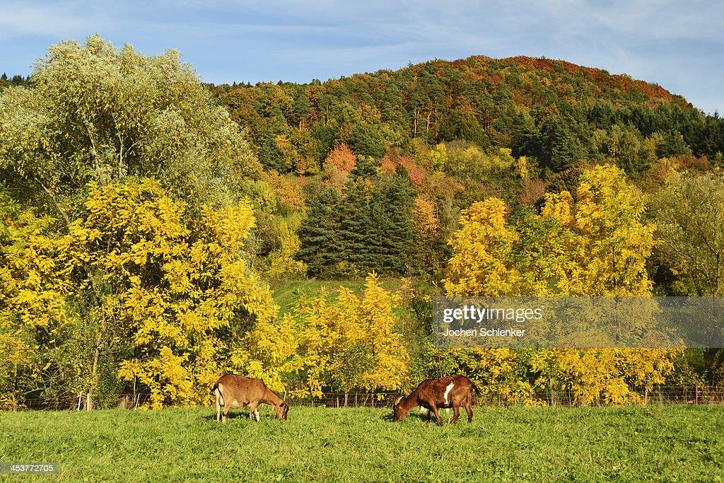 Goats on pasture, Palatinate Forest : Stock Photo