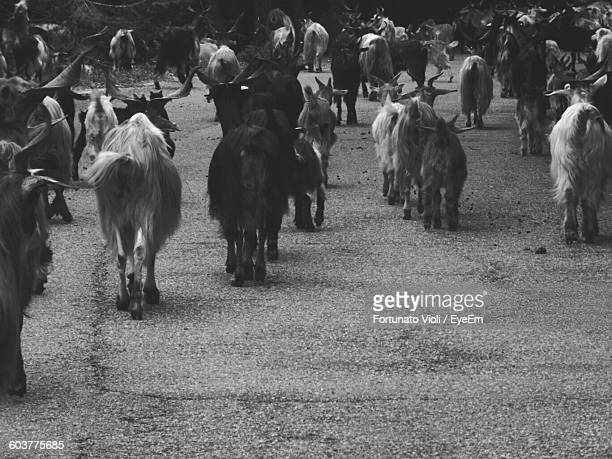 Goats On Pathway