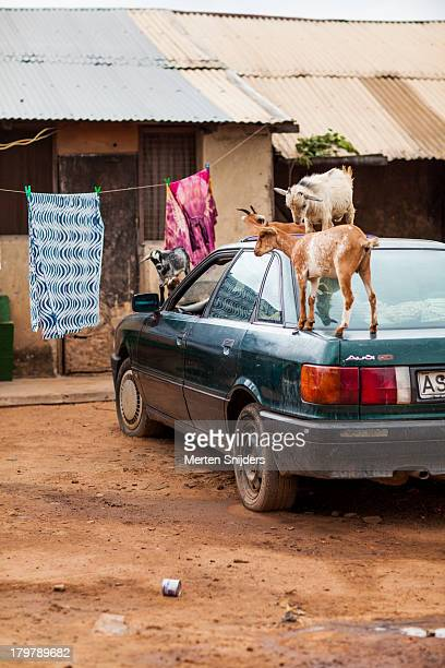 Goats on the front, rear and top of a car