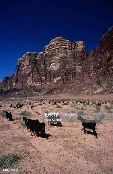 Goats on the plains at Wadi Rum.
