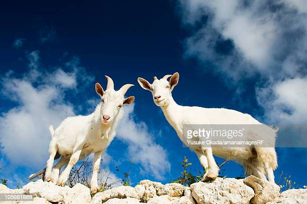 Goats on top of rocks