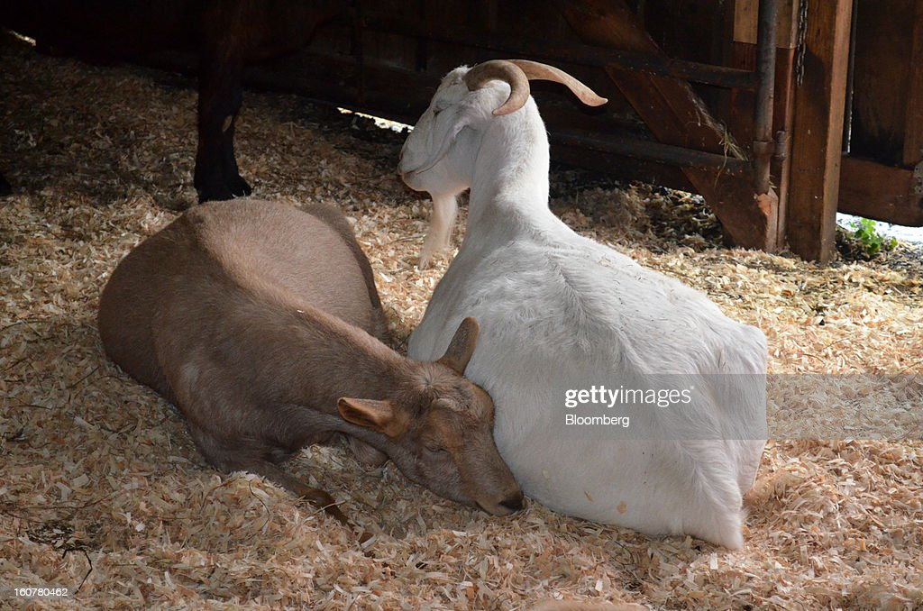Goats relax at Woodstock Animal Farm Sanctuary in Willow, New York, U.S., on Friday, Oct. 19, 2012. Some of the goats here are escapees from live-kill markets in Brooklyn. Photographer: Mike Di Paola/Bloomberg via Getty Images