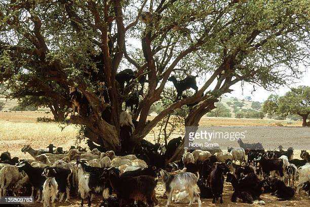 Goats up argan tree, Taroudant, Morocco.
