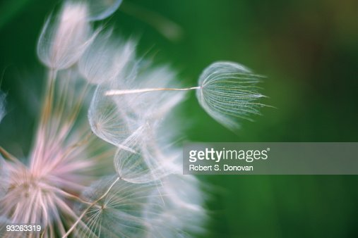 Goatsbeard close Up : Stock Photo