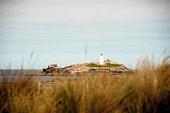 Godrevy Lighthouse through the long grass on the beach