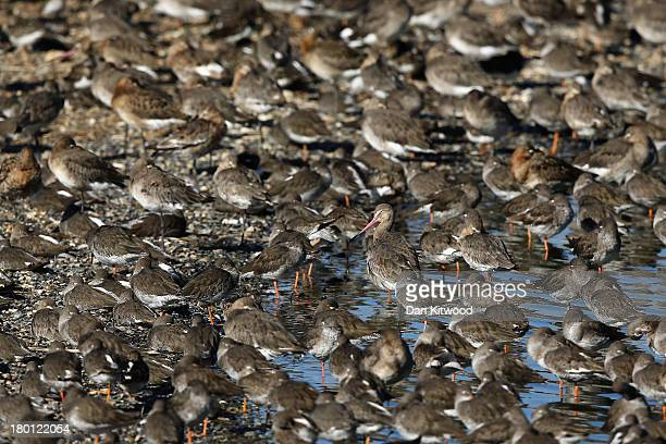 Godwit and other waders gather after seeking new feeding grounds during the incoming tide at the RSPB's Snettisham Nature reserve on September 09...