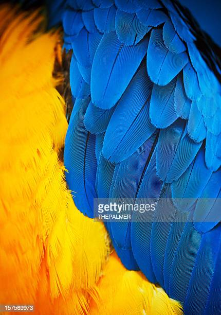 gold and blue macaw feathers