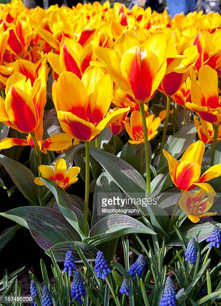 Tulipes rouges et or de jardin classique à proximité d'Amsterdam
