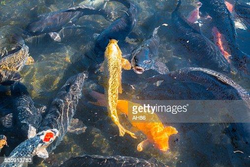 Gold carp : Stock Photo