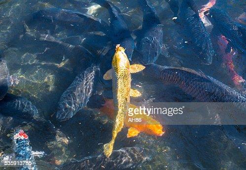 Ouro Carpa : Foto de stock