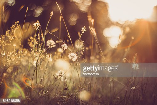 Gold Colored Grassland With Some Blowballs And Perfect Light : Stockfoto