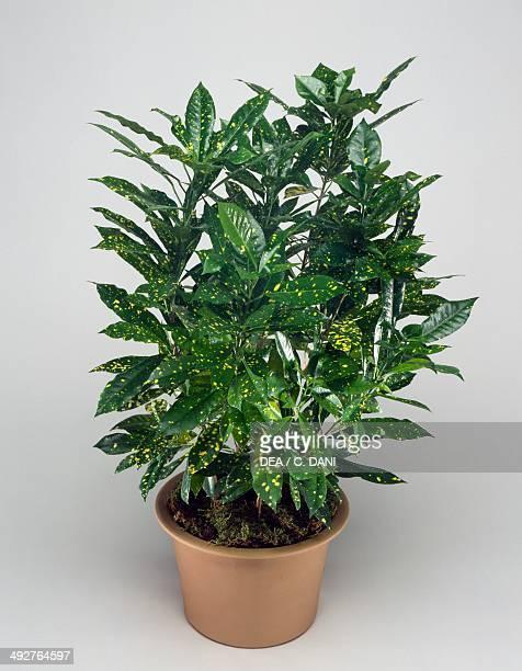Gold dust Euphorbiaceae