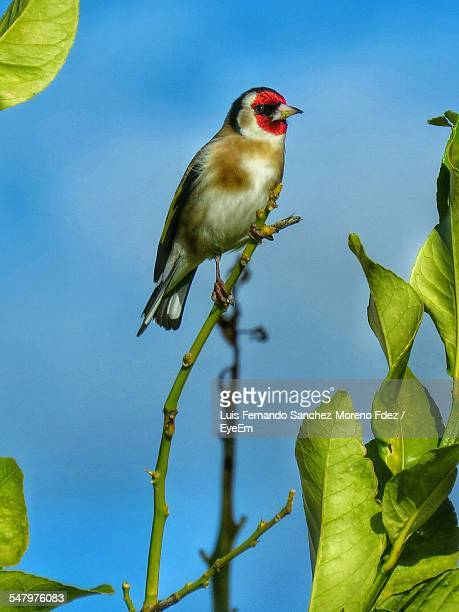 Gold Finch Perching On Branch Against Blue Sky