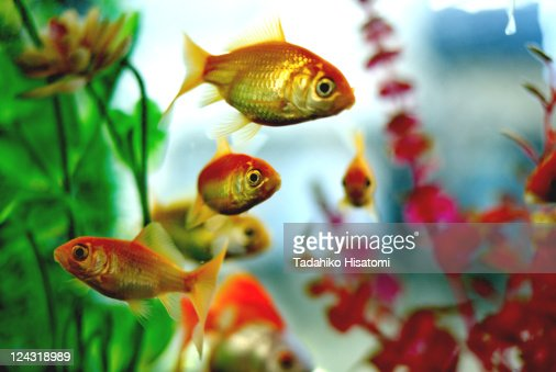 Gold fish in water tank
