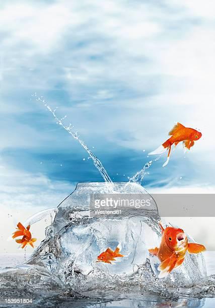 Gold fish jumping out of fish bowl, close up