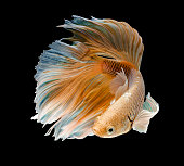 gold fish,Betta fish on black background