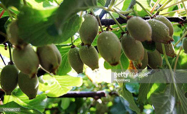 Gold kiwifruit grows on vines in the orchard of the Kiwi360 theme park in Te Puke New Zealand on Monday Nov 23 2010 A bacterial vine disease was...