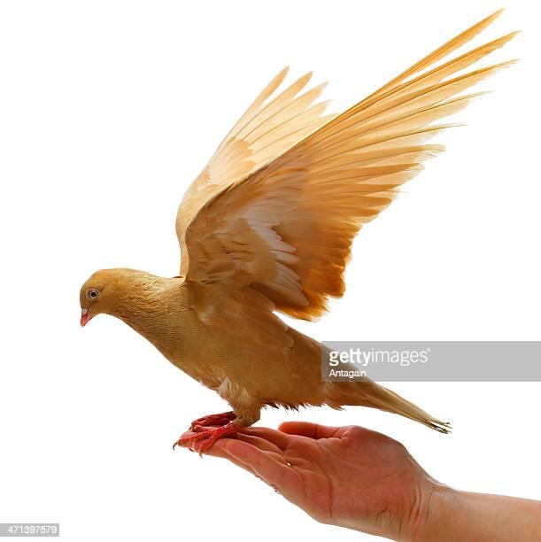 gold pigeon à la main