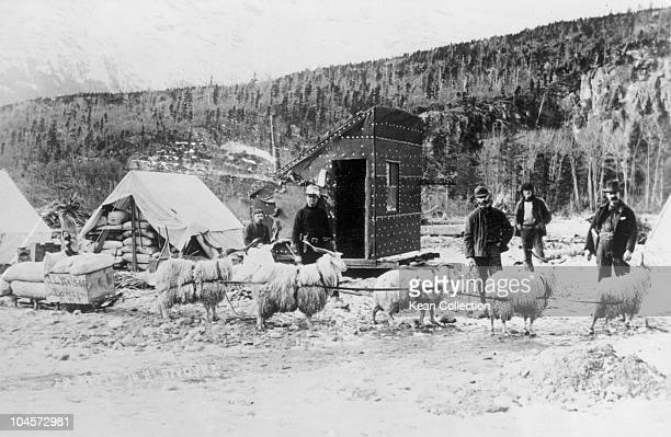 Gold prospectors en route to the Klondike circa 1898 Goats were used to haul freight and then fattened slaughtered and eaten