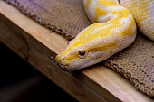Gold Python or Reticulated python in the zoo