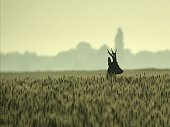 Trophy roe deer early in the morning