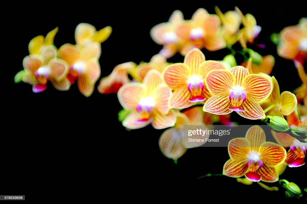 Gold Staff Phalaenopsis orchid during the RHS Flower Show at Tatton Park on July 21 2016 in Knutsford England