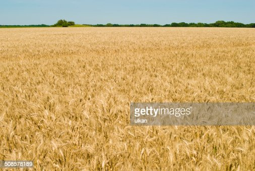 Gold wheat field and blue sky : Bildbanksbilder