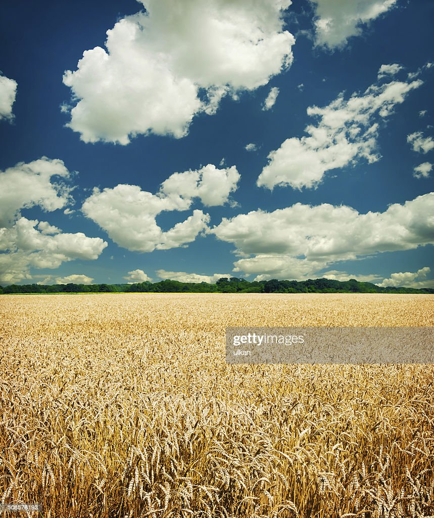 Gold wheat field and blue sky : Stock Photo