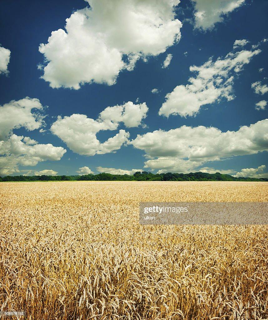 Champ de blé d'or et ciel bleu : Photo