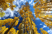 Aspen forest in autumn with fall colors of gold, yellow, blue, white, yellow in San Juan NAtional Forest outside of Ouray and Silverton on the Million Dollar Highway.