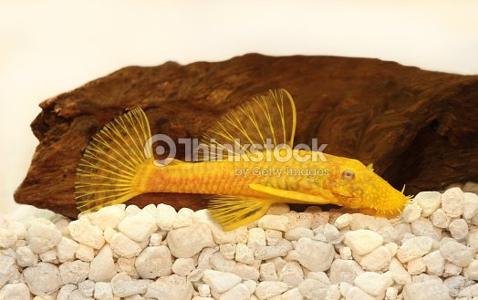 Golden ancistrus pleco catfish bristlenez aquarium de for Poisson exotique aquarium