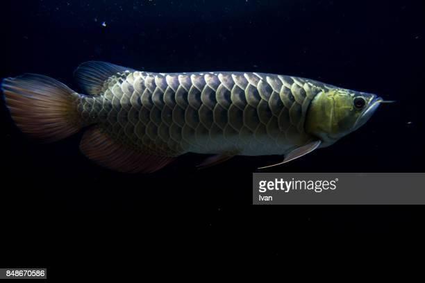Golden and Silver Dragonfish, Arowana