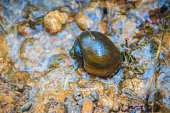 Golden applesnail or Channeled applesnail is the alien imported from abroad. The number is increasing and spread in almost all areas of Thailand. It is a freshwater mollusk that is a major rice enemy.