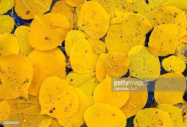 Golden aspen fall leaves