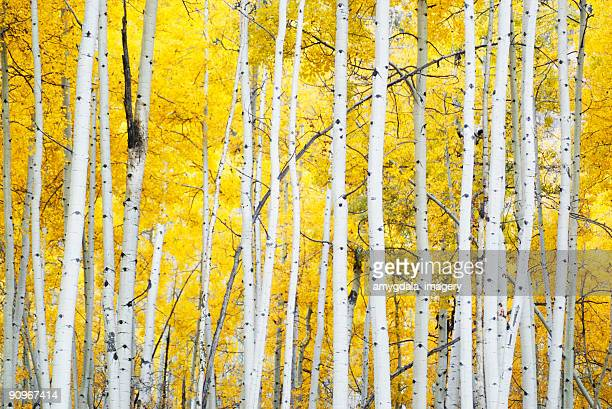 golden autumn aspens