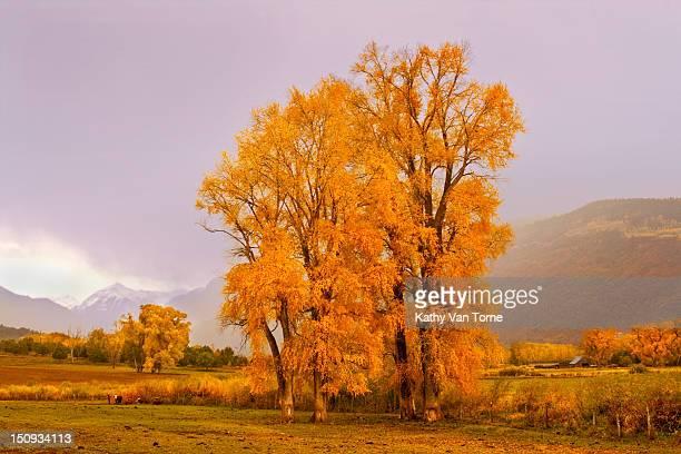 Golden autumn cottonwood trees in Colorado