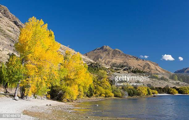 Golden autumn foliage at Glendhu Bay, Wanaka