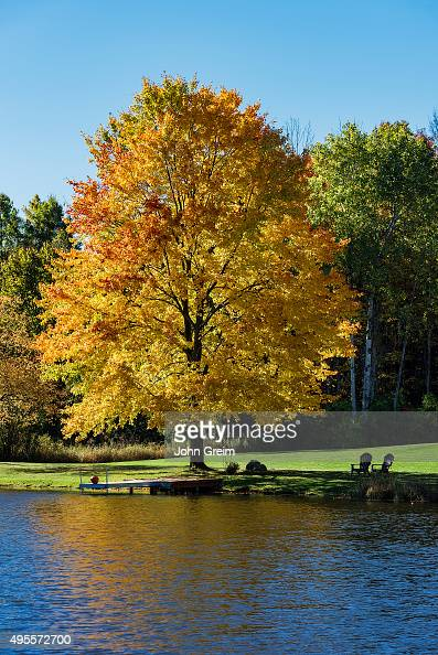 Golden autumn maple tree on the edge of a quiet pond