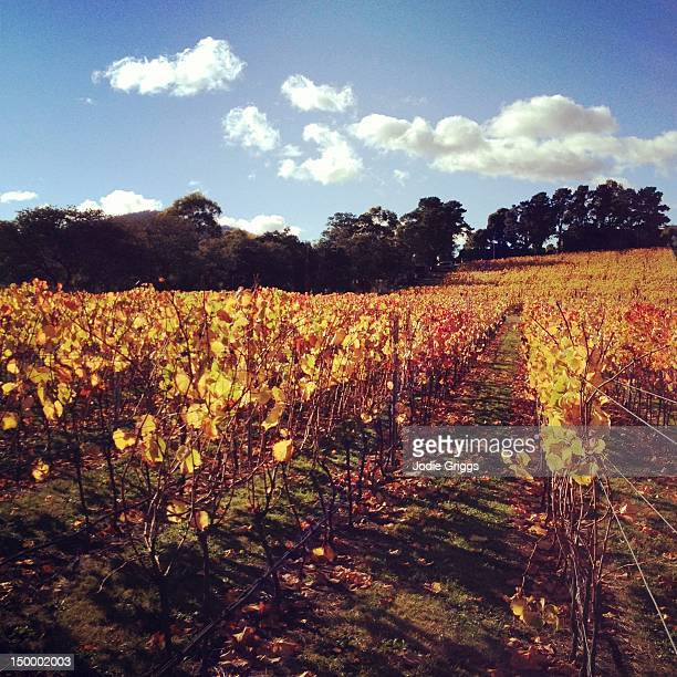Golden autumn on grapevines
